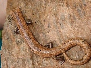 Camron climbing salamander