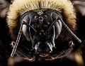Bombus auricomus, F, face, Philidelphia, PA 2013-01-02-13.43.50 ZS PMax (8350490253).jpg