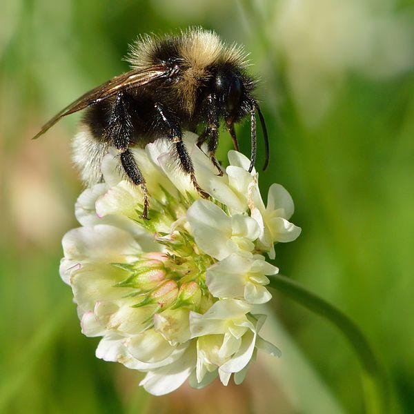 Datei:Bombus barbutellus - Trifolium repens - Keila.jpg