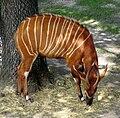 Bongo tragelaphus eurycerus.jpg