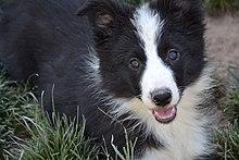 Black White Border Collie Puppy Female