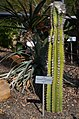 Botanischer Garten der Universität Zürich nach Umbau - 'Tiefland' - Pilosocereus leucocephalus 2014-03-08 14-44-48.JPG