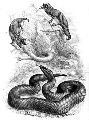Description de l'image Bothrolycus ater.jpg.
