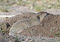 Botta's pocket gopher (Thomomys bottae)DSC2910vv.jpg