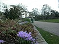Bournemouth Central Gardens, crocuses - geograph.org.uk - 1175058.jpg