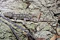 Bowring's Gecko (Hemidactylus bowringii) 原尾蜥虎10.jpg