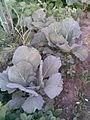 Brassicales - Brassica oleracea convar. capitata var. alba 2 - 2011.07.11.jpg