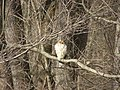 Broadtail Hawk P1300117.jpg