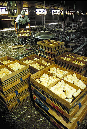 Broiler - One-day old chicks arriving to be unpacked and placed in shed.