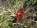 Bromelia hieronymi.FlorDeChaguar.Chaco.jpg