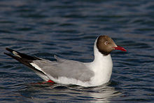 Brown-headed Gull at Pangong Tso Ladakh