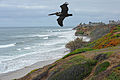 Brown Pelican Soars (8425524047).jpg