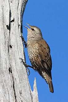 Brown Treecreeper02.jpg