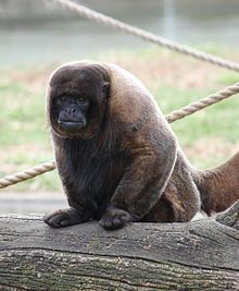 A brown, woolly monkey
