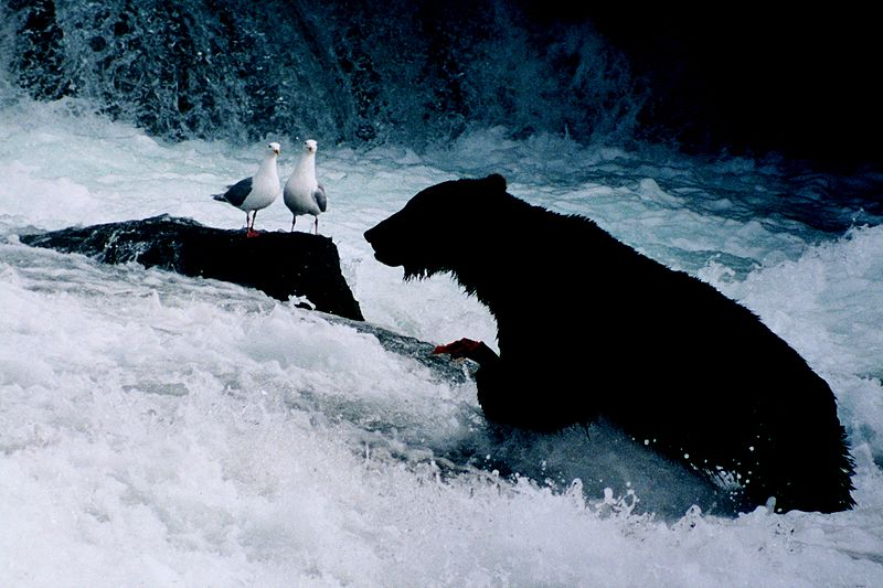 پرونده:Brown bear seaguls.jpg