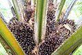 Buah kelapa sawit (17).JPG