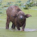 Bubalus bubalis (water buffalo) calf, looking at the viewer, the feet in a pond, in Laos.jpg
