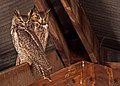 Bubo virginianus -Arizona, USA-two-8.jpg