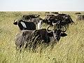Buffels (6693820863).jpg