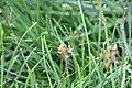 Bulbine frutescens Hallmark 1zz.jpg