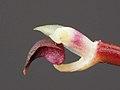 Bulbophyllum obovatifolium, column and lip (35341734783).jpg