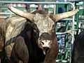 Bull 2 horns.jpg