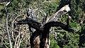 Burnt double headed tree (24242533928).jpg