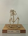 Bush Baby Galago skeleton 1 at the Royal Veterinary College anatomy museum.jpg