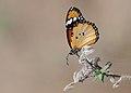 Butterfly African Queen - Danaus chrysippus.jpg
