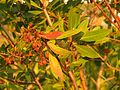 Buttonwood - Flickr - treegrow.jpg
