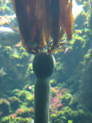 Bull kelp (Nereocystis luetkeana) in the Stein...