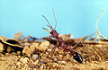 CSIRO ScienceImage 3492 A Bull Ant.jpg