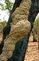 CSIRO ScienceImage 4280 Termite nest on tree near Ranger Uranium Mine Arnhem Land NT 1992.jpg