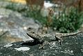 CSIRO ScienceImage 66 Lizard on a Log.jpg