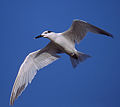 Cabot's Tern in Flight.jpg