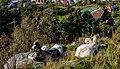 Cabras (Capra aegagrus hircus), montaña Fløyen, Bergen, Noruega, 2019-09-08, DD 42.jpg