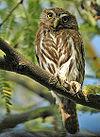 Cactus Ferruginous Pygmy-owl.jpg