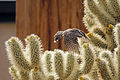 Cactus wren (Campylorhynchus brunneicapillus) building a nest - 12938376254.jpg