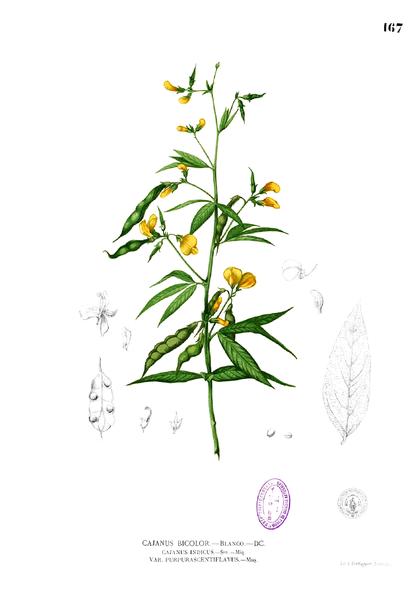Cajanus cajan Blanco1.167