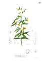 Cajanus cajan Blanco1.167.png