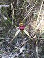 Caladenia montana.jpg