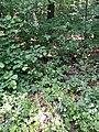 Calamagrostis arundinacea sl4.jpg