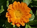Calendula flower orange-yellow.jpg