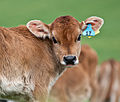 Calf with eartag.jpg