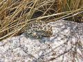 California tree frog (Pseudacris cadaverina) (14230002222).jpg