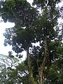 Callerya atropurpurea.JPG