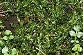 Calliergon cordifolium (b, 143546-474635) 6372.JPG