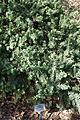 Callistemon viminalis 'Little John' - Leaning Pine Arboretum - DSC05791.JPG