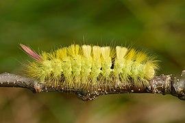 Calliteara pudibunda caterpillar - Keila1.jpg