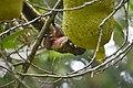 Callosciurus erythraeus thaiwanensis (34345611143).jpg